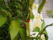 chili-2-small